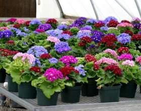 18 Рад про вирощування квіткової розсади фото