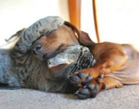 20 Котов, які по вуха закохався в собак фото