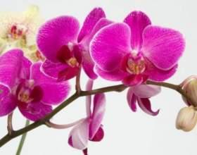 9 Секретів досвідчених квітникарів! З ними ваша орхідея буде цвісти безперервно! фото