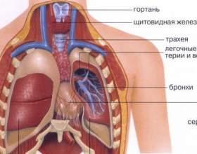 Анатомія людини: внутрішні органи чоловіка і жінки фото