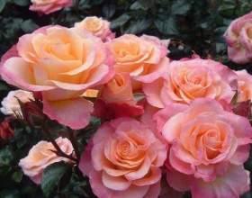 Боротьба з хворобами троянд фото