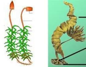 Чим мохи відрізняються від водоростей? фото