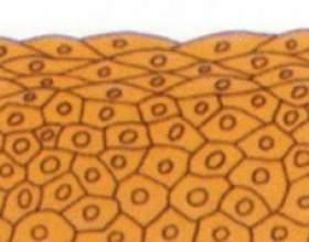 Чим відрізняється епітеліальна тканина від сполучної: опис і відмінності фото