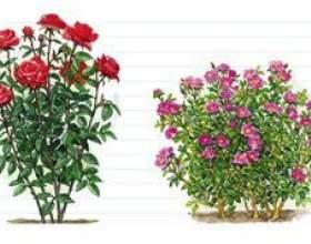 Чим відрізняються паркові троянди від чайно-гібридних? фото