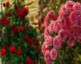 Чим плетистая троянда відрізняється від кучерявою? фото