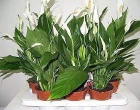 Чим підгодовувати кімнатні рослини фото