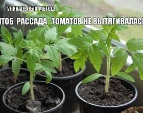 Що робити, щоб розсада томатів не витягує? Все геніальне просто! фото