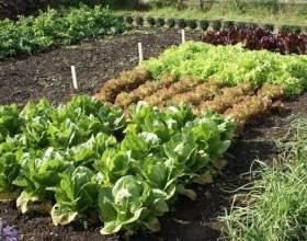 Що таке ущільнені посіви і які овочі уживаються один з одним? фото
