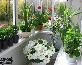 Квіти у вашому домі, якщо підвіконня на північ фото