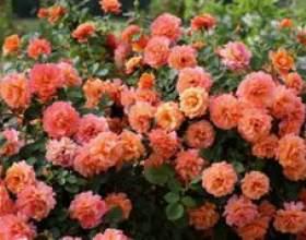 Флорибунда і чайно-гібридна троянда - чим вони відрізняються фото