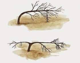 Формування плодових дерев гнуттям без обрізки фото