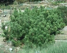 Гірська сосна pinus mugo: посадка і догляд фото