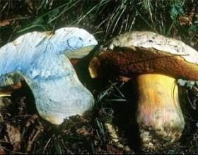 Гриб - сатанинський гриб фото