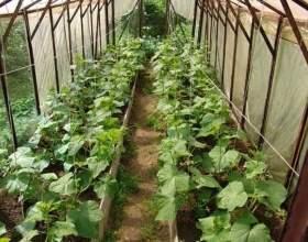 Хитрощі догляду за огірками в теплиці! фото
