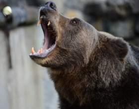 Цікаві факти про ведмедів: фото