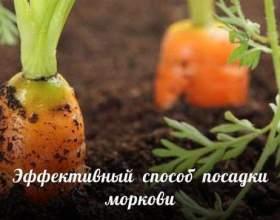 Ефективний спосіб посадки моркви фото