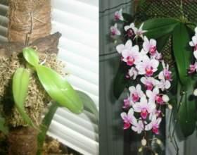 Експеримент з орхідеєю! Цвітіння мене приголомшило! фото