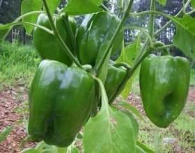 Як правильно формувати перець, щоб збільшити дозрівання і ріст плодів? фото