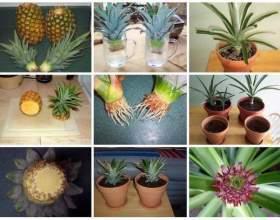 Як виростити ананас з купленого в магазині плода за 4 кроку! фото