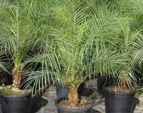 Як виростити фінікову пальму з насіння? фото