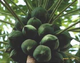 Як виростити кокос будинку? фото