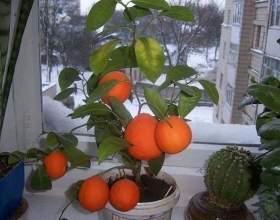 Як виростити мандарин з кісточки в домашніх умовах. Інструкції фото