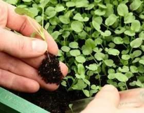 Як виростити розсаду без грунту до пікіровки фото