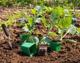 Як виростити розсаду капусти і посадити її в грунт фото