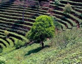 Китайський чай. Які бувають сорти? фото