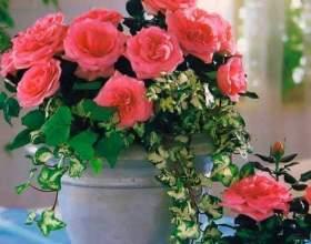 Кімнатна троянда. 5 порад квітникаря для рясного цвітіння фото