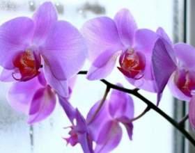 Магічне значення орхідеї у вашому будинку фото