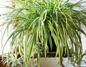 Невибагливі кімнатні рослини фото