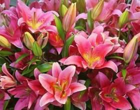 Чому дрібнішають квітки лілеї? фото