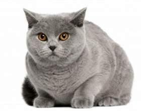 Породи найбільших домашніх котів у світі фото