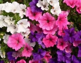 Правильна підживлення петунії. «Прекрасний квітник для петуній» від еколого фото