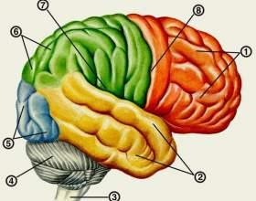 Проміжний мозок фото