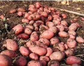 """Рання картопля в червні С""""РѕС'Рѕ"""