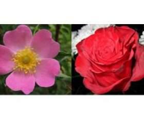 Роза і шипшина - чим вони відрізняються? фото