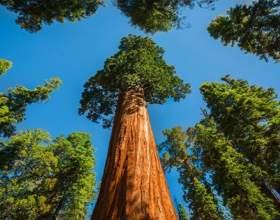 Найбільше дерево на нашій планеті !!! фото