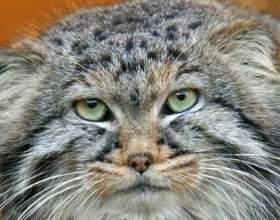 Найбільші породи кішок фото
