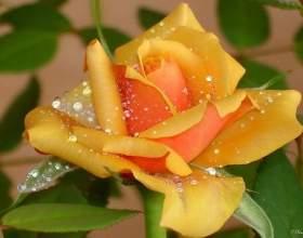 Сонячна троянда любоⳠфото