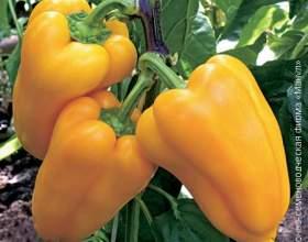 Поради бувалих городників з вирощування перцю фото