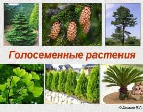 Список голонасінних рослин фото