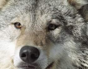 """Важливість вовків в екосистемі С""""РѕС'Рѕ"""