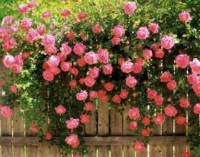Шкідники і хвороби в`юнких троянд фото
