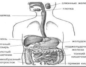 Другий мозок людини - кишечник (з книг в.а. Шемшук) фото