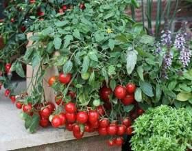 """Вирощуємо помідори черрі. 5 відмінностей в догляді С""""РѕС'Рѕ"""