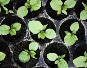 Вирощуємо розсаду баклажанів фото
