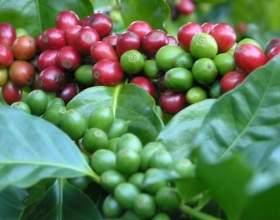 Вирощування кавового деревця в домашніх умовах фото