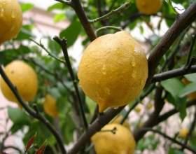 Вирощування лимона в домашніх умовах фото